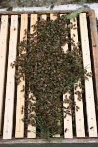 Bienenschwarm einschlagen