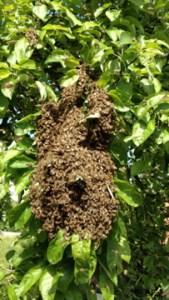 Bienenschwarm im Baum, Bienenschwarm am Ast
