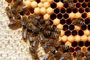 Bienenbrut neben Honigzellen
