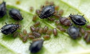 Honig der Blattlaus, Blatt mit Blattläusen