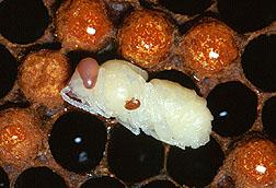 Varroa-Milbe, Varroa destruktor