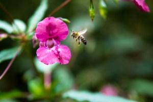 Balsamine, indisches Springkraut, Himalaya Springkraut, Himalaya Balsamine, Biene an Indischem Springkraut,