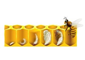 Honigbiene Lebenszyklus, Lebensweise, Honigbiene Entwicklung