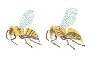 Honigbiene Organe, Biene Organe