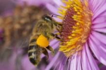 Honigbiene, Honigbienen, Honigbiene mit Pollen