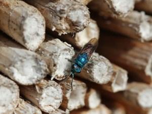 Insektenhotel Bewohner, Goldwespe, verschlossene Röhrchen,