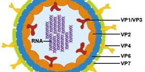 Rotavirus Virus Diagram