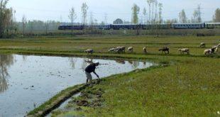 A farmer working in his rice farm in Zangam-Pattan, north Kashmir [image by: Athar Parvaiz]