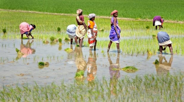 Sowing paddy in Tamil Nadu [image by Michael Foley]