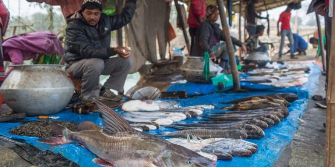 A local fish market at Koshi Barrage in eastern Nepal. Most of the fish in the market are from Koshi River [image by: Nabin Baral]