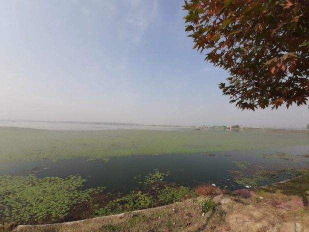 A thick spread of algae lies over the Dal Lake [image by: Faisal Bhat]