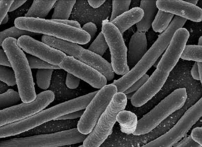 Rod-shaped E.coli bacteria