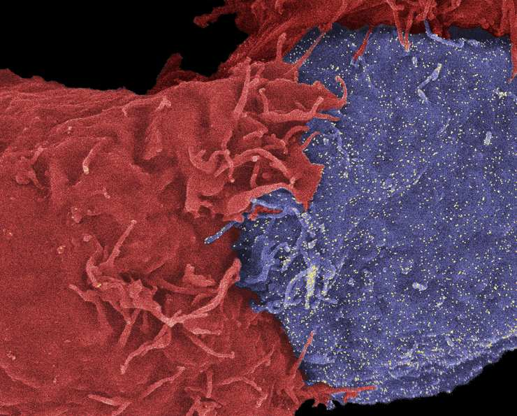 Natural Killer Cell Attacking Cancer Cell