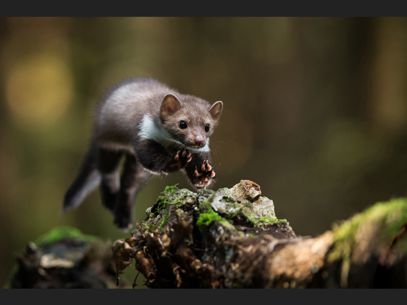 White breasted marten