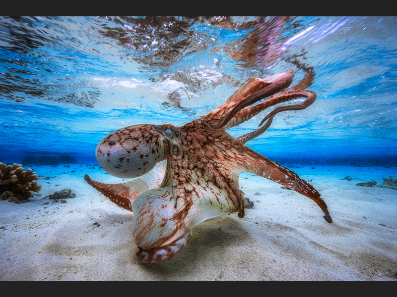 Dancing Octopus - Underwater Photographer of the Year 2017