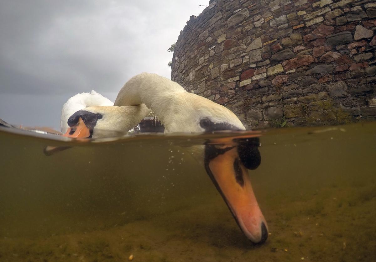 Intertwined Mute Swans