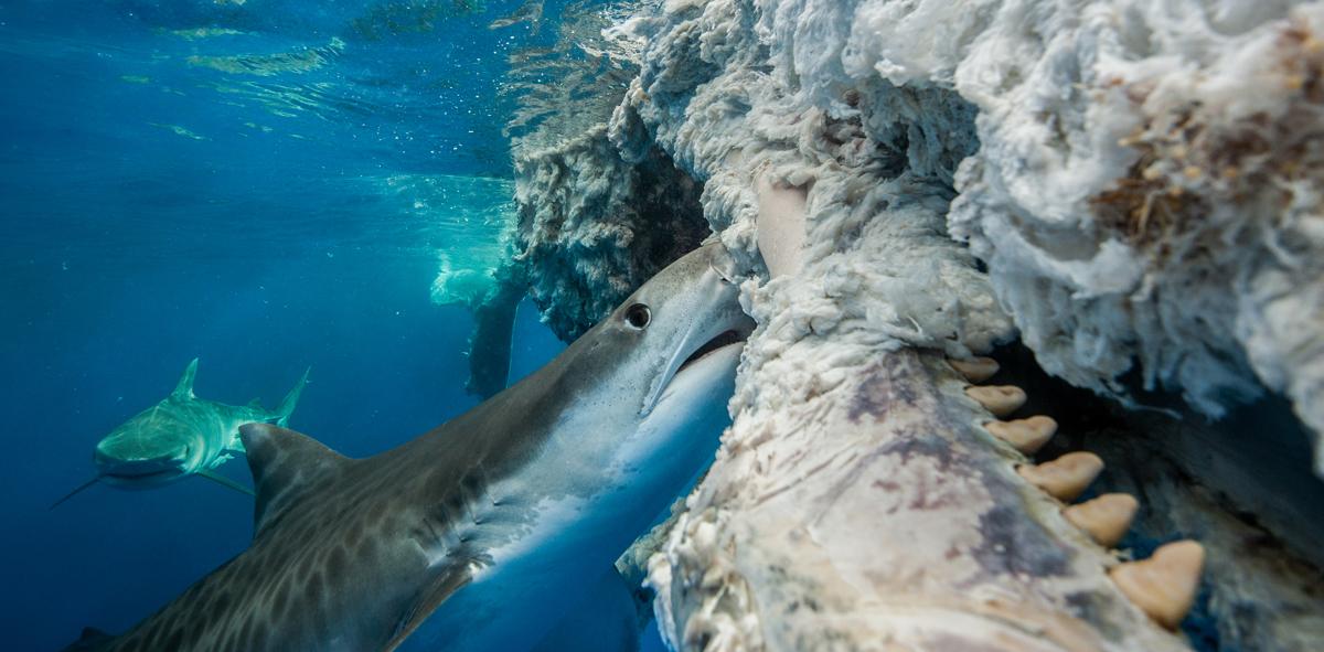 Tiger sharks feeding on sperm whale carcass