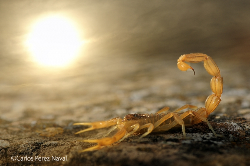 Stinger in the sun - Carlos Perez Naval