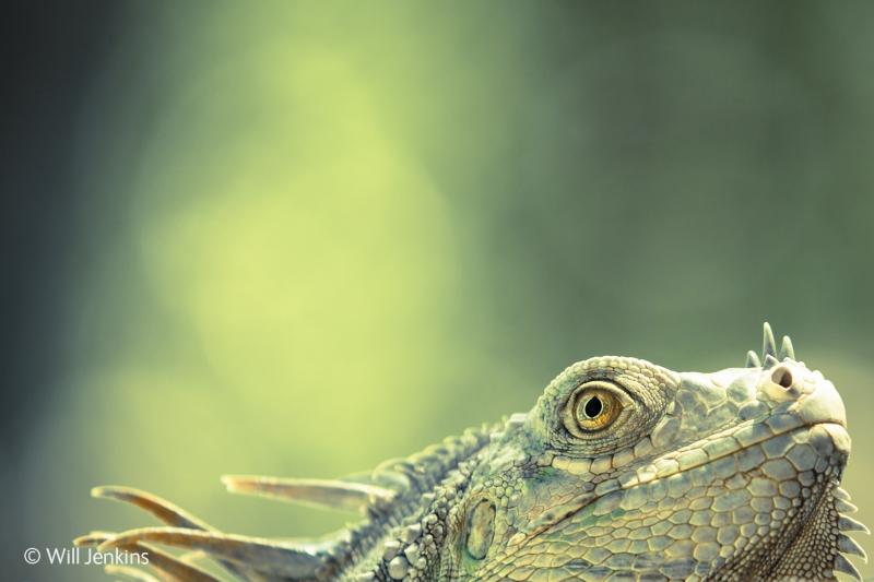 Green dragon - Will Jenkins