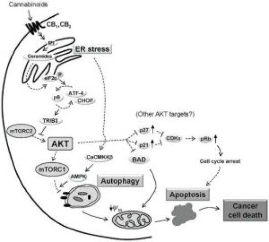 Cannabinoid-induced apoptosis