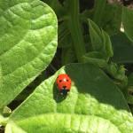 lady-bug-copy