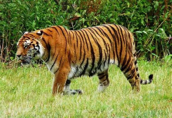 Royal Bengal Tiger in Sundarban