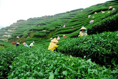 Tea Garden in Sreemongal