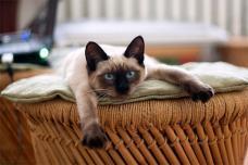 descubren un grupo de productos quiacutemicos potencialmente toacutexicos en la sangre de gatos domeacutesticos