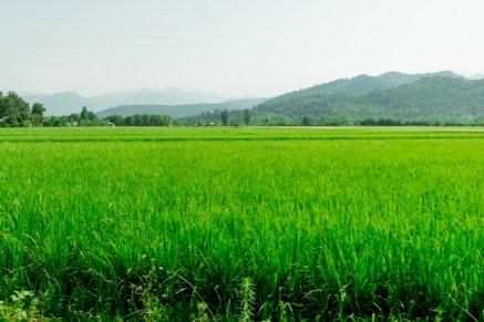 Rice Field in Iran