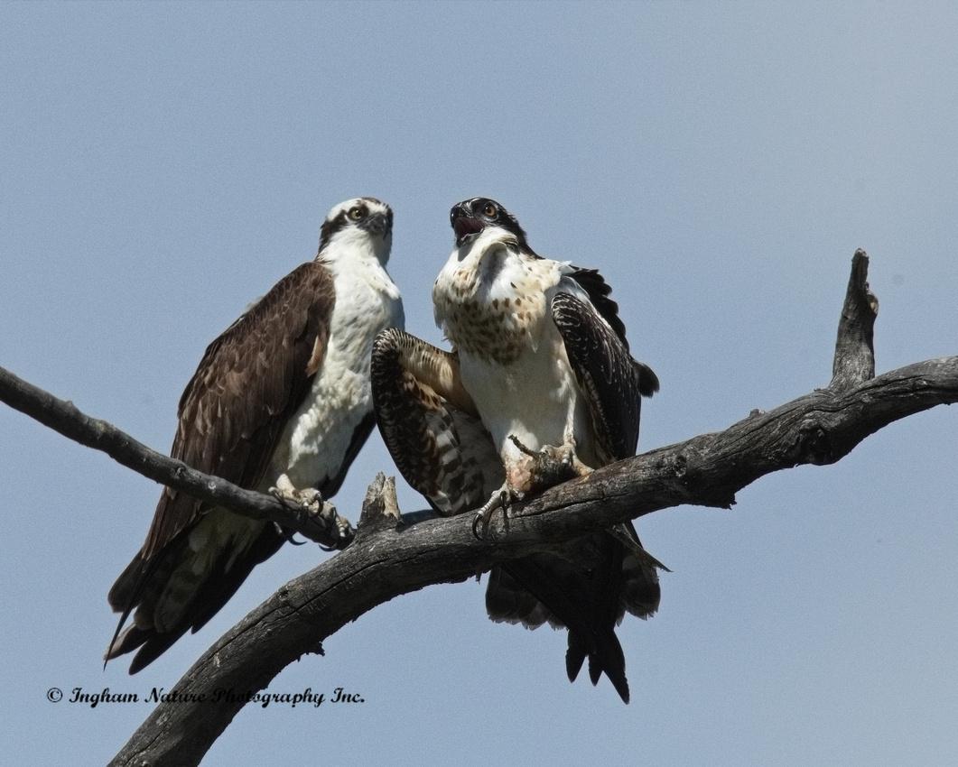 Do Golden Eagles Eat Fish