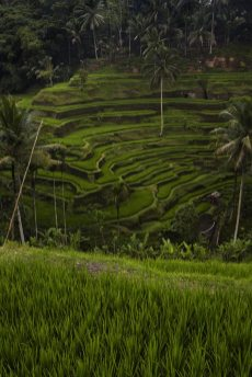 ricefields-in-bali-3