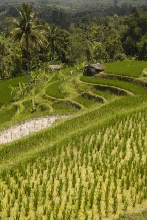 ricefields-in-bali-9