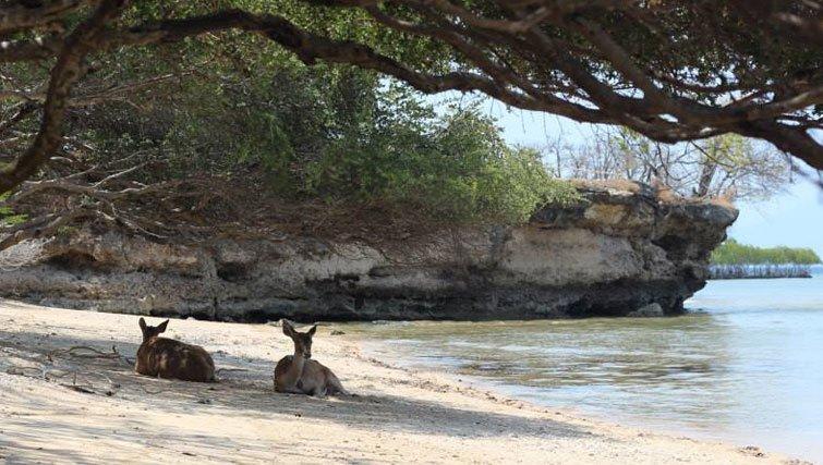Deer on the beach in west bali