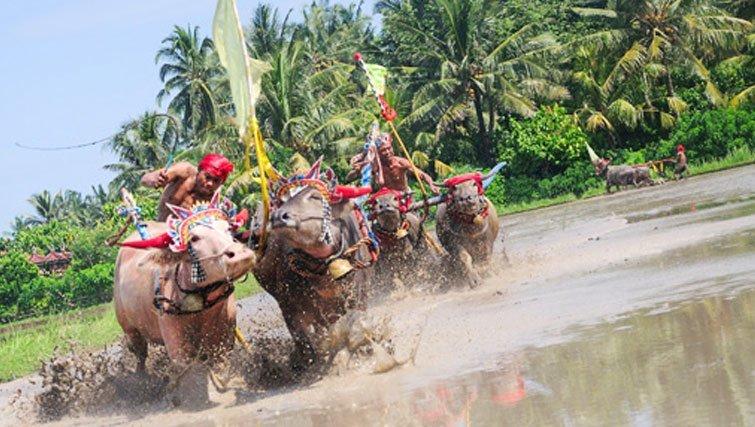 West Bali Buffalo Racing.