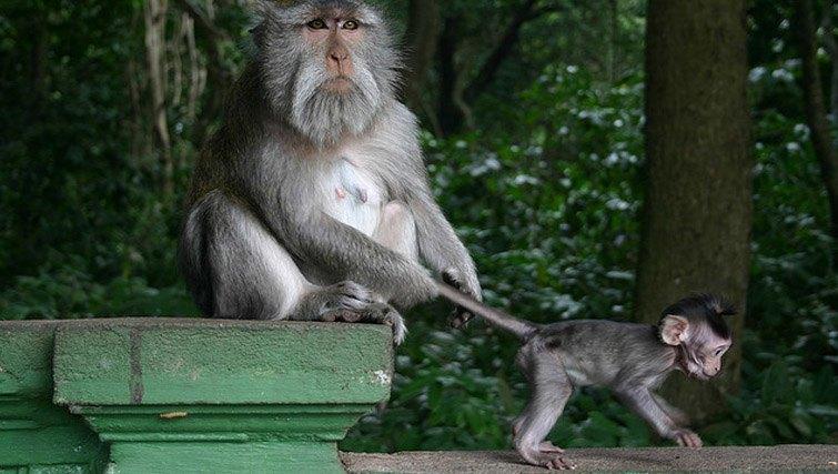 Monkey forest naughty monkeys Ubud