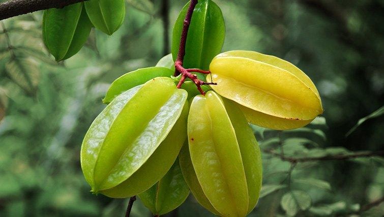 Bali Starfruit tree