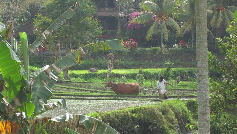 Farmer at work in ricefield in TIrta Gangga.