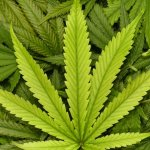 As Dominos Begin to Fall, Businesses See Massive Opportunity With Cannabis Legalization