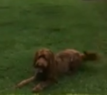 Mambo is a 2 year old Labradoodle,