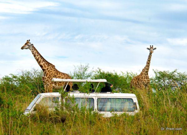 Long neck of giraffe hinders drinking water