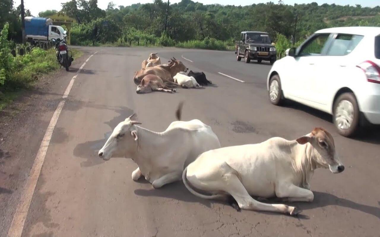 Stray Cattle on The Road In Goa