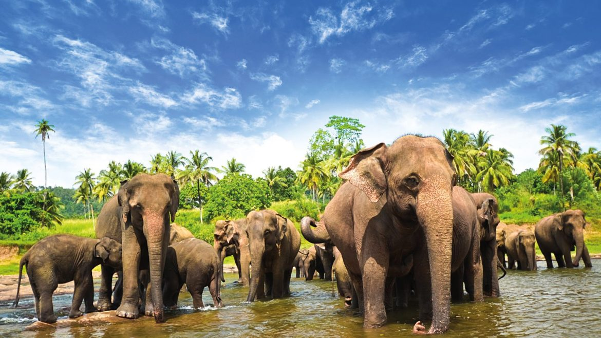 Research study uses sounds of disturbed honey bees to scare away Sri Lankan elephants