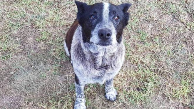 Elderly dog helps save girl lost in Australian bush