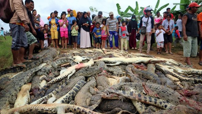Indonesia mob slaughters nearly 300 crocodiles in revenge killing
