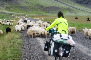 independent people iceland sheep