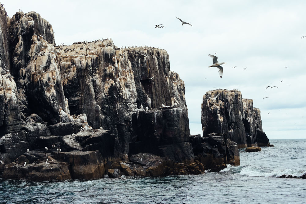 england farne islands northumberland birds sea razzorbills