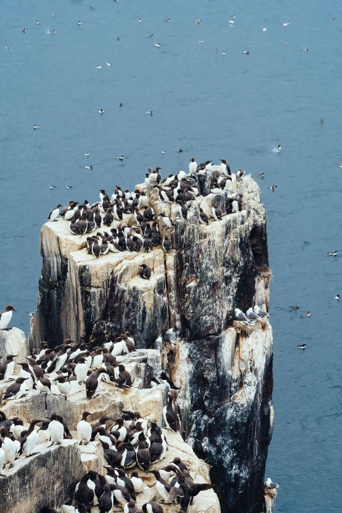 england northumberland islands farne cliff birds razorbills