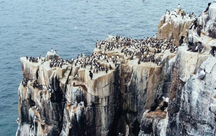 england northumberland islands farne cliff birds razorbills