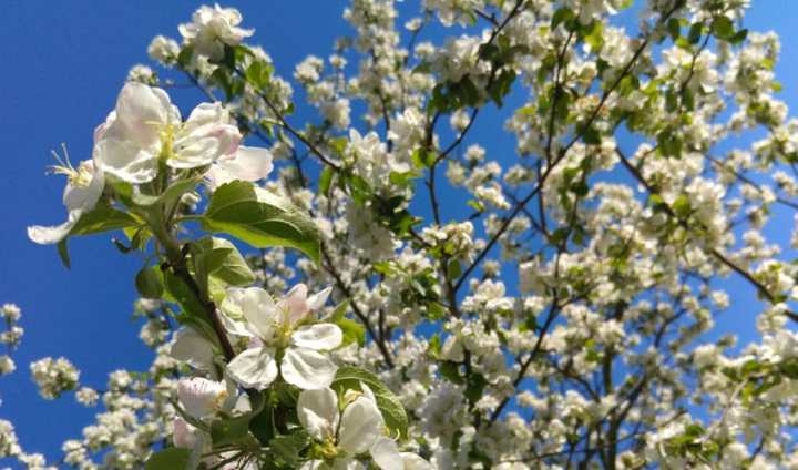 Best Spring Flowering Trees To Plant in Northeast Ohio   Independent     spring flowering trees for northeast ohio