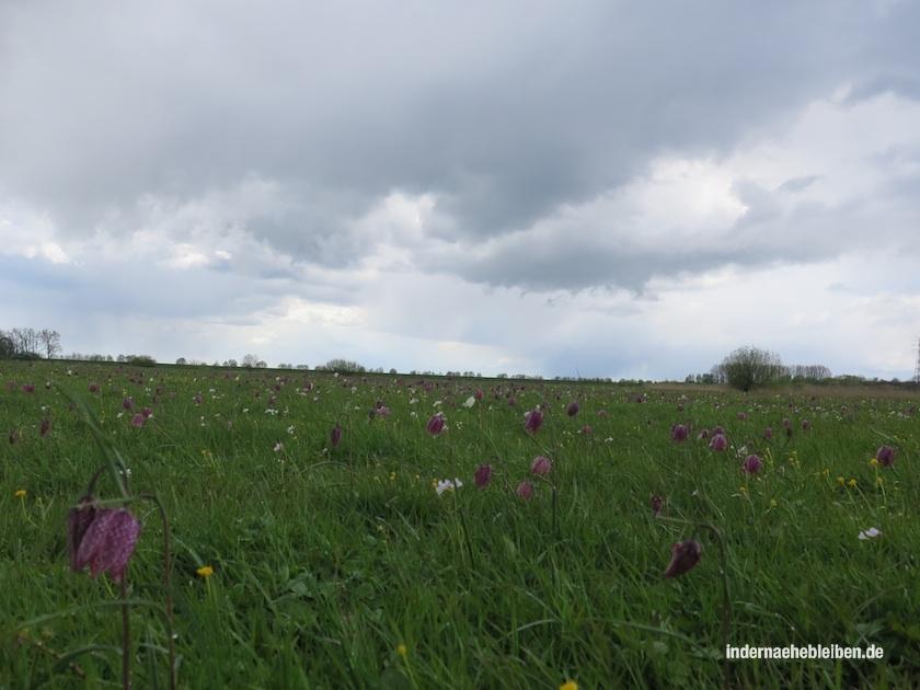 schachblumen hetlingen